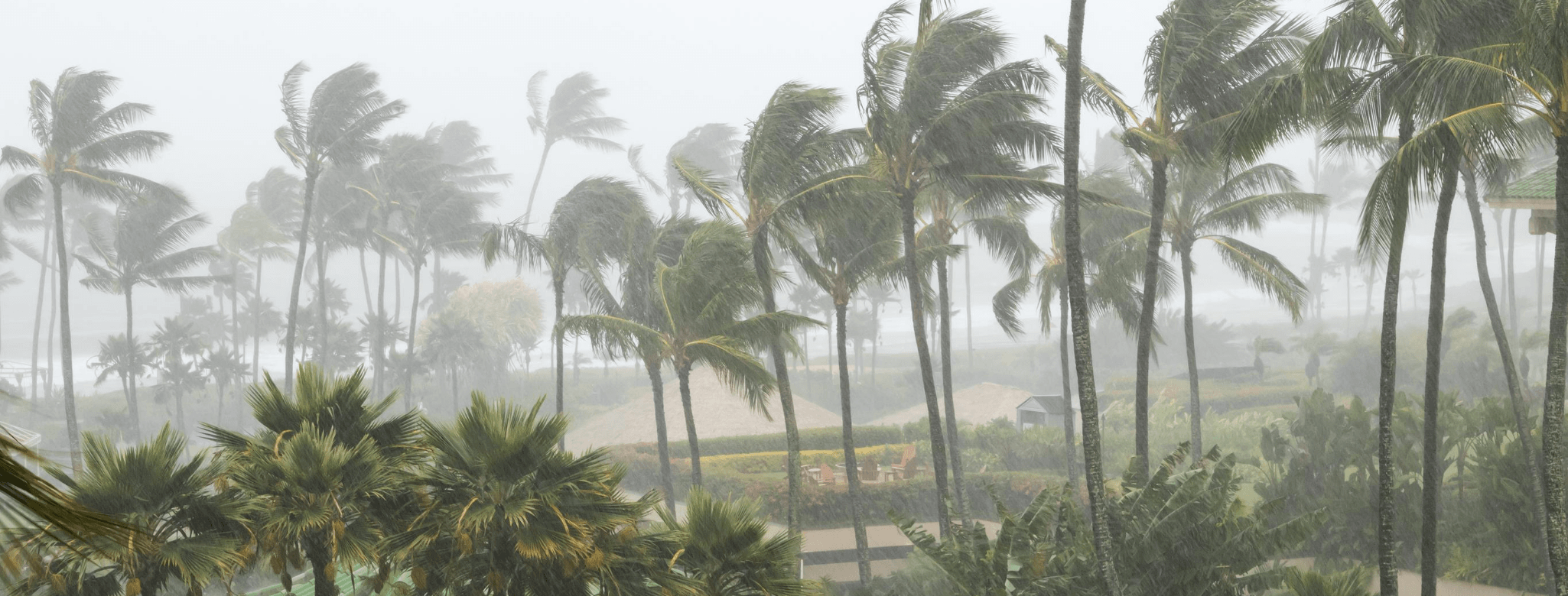 Hurricane Palm Trees